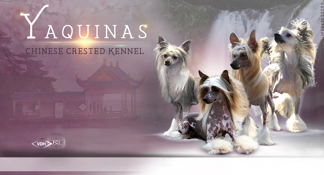 Yaquinas Chinese Crested